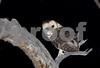 Tasmanian Masked Owl- Tyto novaehollandiae castanops.<br /> Ansons Bay, NE Tasmania. Photograph October 2008<br /> This white morph owl was partnered with a very large dark morph female. See adjacent photos.
