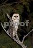 Tasmanian Masked Owl- Tyto novaehollandiae castanops.<br /> Ansons Bay, NE Tasmania. Photograph October 2008