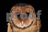 Tasmanian Masked Owl- Tyto novaehollandiae castanops. Koonya, Tasmania.