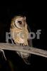 Tasmanian Masked Owl- Tyto novaehollandiae castanops.<br /> Scottsdale, NE Tasmania. Probable female owl (on the basis of calling behaviour). Photograph September 2008.