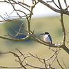 Forest Kingfisher, Atherton Tableland, QLD