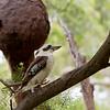 Laughing Kookaburra, Wangi, NSW