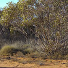 Hampton, 13/7/2002. Striated Grasswren habitat