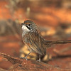 Striated Grasswren, Paddington, 23/3/2003
