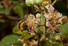 bumblebee_netas-0702