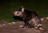 Tasmanian Devil, Sarcophilus harrisi, Mountain Valley Lodge, Loongana, TAS