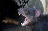 Tasmanian Devil, Sarcophilus harrisi, Mountain Valley Lodge, Loongana, TAS