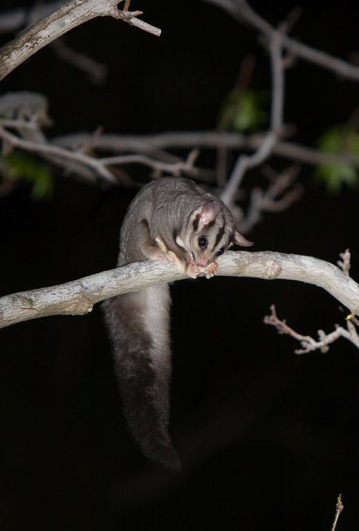 squirrelglider-8567