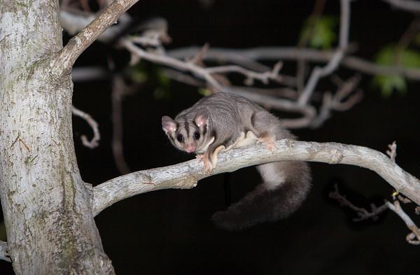 squirrelglider-8574