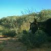 Goat eating Acacia acathoclada.