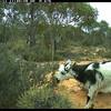 Goats eating Acacia acanthoclada