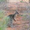 bridlednailtailwallaby-9843