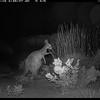 Western Grey Kangaroo eating Triodia, rather than Harrow Wattle