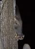 squirrelglider-8556