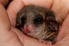 Eastern Pygmy-possum, Cercartetus nanus. Lake Munmorah, NSW.