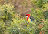 Eastern Rosella (Platycercus eximus diemenensis) X Green Rosella (Platycercus caledonicus) hybrid. Apart from enjoying the small amount of seed that is put out for it it likes to feed in some of the large Black Wattles (Acacia mearnsii) that are near our house.
