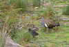 Tasmanian Native-hen (Gallinula mortierii), parent with the sole surviving chick on the 18 October 2009.