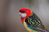 """Eastern Rosella (Platycercus eximus diemenensis) X Green Rosella (Platycercus caledonicus) hybrid. This is one of our local rosellas. Always in the company of a Green Rosella. It is the only """"Eastern"""" that I have seen in our vicinity. I believe it be a hybrid because of the blue edging to the white cheekpatch and its relatively large size. The yellow on the belly might be dimmer than is normal for an Eastern Rosella as well. Another feature is that it makes a clinking call like a Green Rosella when in fright."""