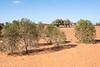 Myoporums, Drought 2018 SW NSW