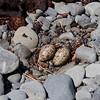 Variable Oystercatcher nest, NZ