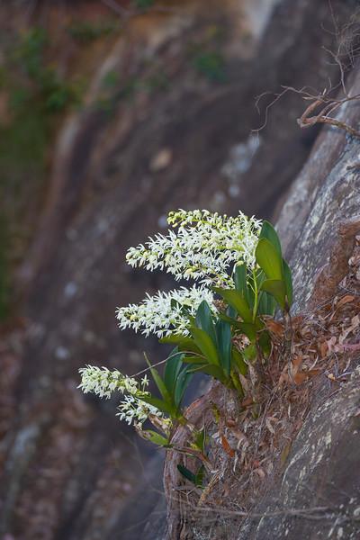 rockorchids-4835