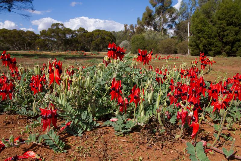 Sturts Desert pea, Inland Botanic Gardens, Buronga