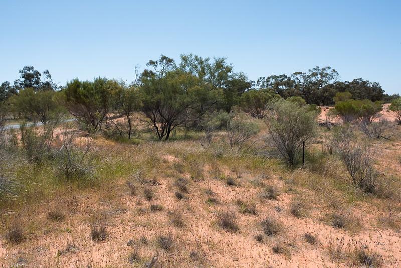 Swainsona sericea, 25 km S. Pooncarie