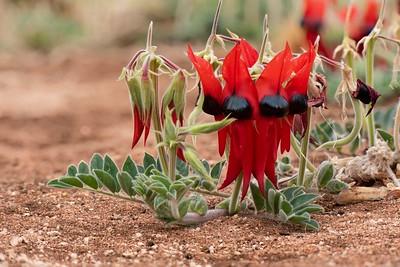 Sturts Desert Pea, Australian Inland Botanic Gardens