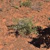 Acacia carneorum, White Leeds