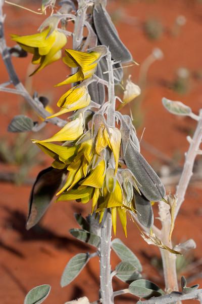 Green Birdflower, Birdsville