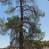 Callitris pine, Mallee Cliffs NP