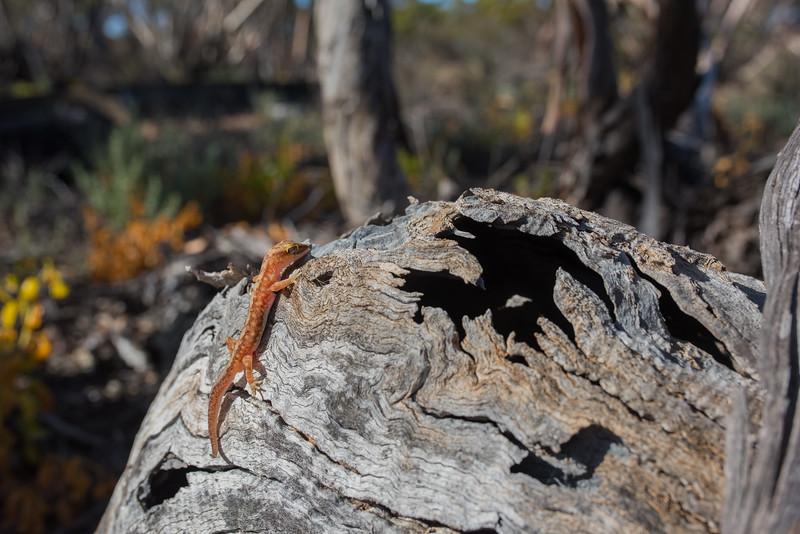 Beaded Gecko, Mallee Cliffs NP, NSW