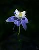 Colorado Columbine Flower<br /> Aquilegia coerulea var. coerulea