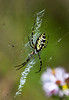 "Black-and-yellow Argiope, Florida<br /> ""Argiope aurantia"""