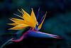 "African Crane<br /> ""Strelitzia reginae"""