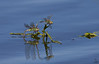 "Green Darner Dragonflies, Colorado<br /> ""Anax junius"""
