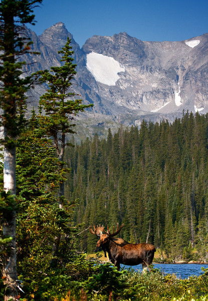 "Bull Moose in lake, mountains in background, Colorado<br /> ""Alces alces"""