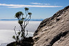 A single bush growing from the barren rocks on top of Table Mountain, with a view over the bay near Cape Town, South Africa. A thin layer of fog covers the lowlands with the mountains near Stellenbosch in the background.
