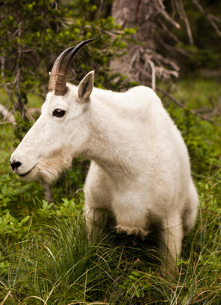 A nanny mountain goat (oreamnos americanus) close-up that surprised me from about ten feet away as I turned around a corner of a trail. The mountain goat, also known as the Rocky Mountain Goat, is a large-hoofed mammal found only in North America.