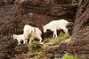 Three mountain goats moving down from a cliff to some grazing area. The mountain goat (Oreamnos americanus), also known as the Rocky Mountain Goat, is a large-hoofed mammal found only in North America. It resides at high elevations and is often seen on cliffs that predators cannot reach.