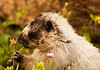 A marmot, searching for food, appears to be sitting for a portrait. The yellow-bellied marmot (marmota flaviventris), also known as the rock chuck, is a ground squirrel in the marmot genus. Its range is in Western US and Canada.