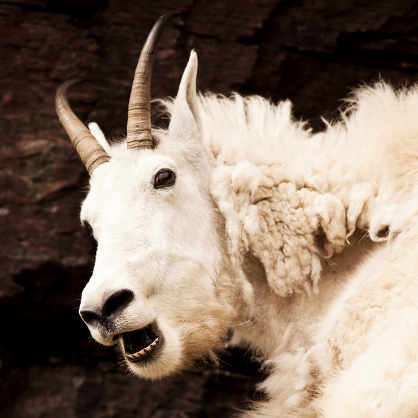 A nanny Rocky mountain goat (oreamnos americanus) in profile looks alarmed but is only burping. Sometimes called the Rocky Mountain ghost, this large-hoofed mammal found only in North America lives at high elevations and is often seen on rock ledges that predators cannot reach.
