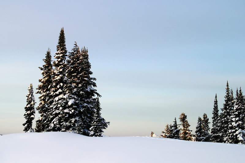 A small grove of trees isolated on a snowy ridge high up on Mt. Rainier. These fir trees are lightly flocked with snow and are highlighted against the colored sky of sunrise.