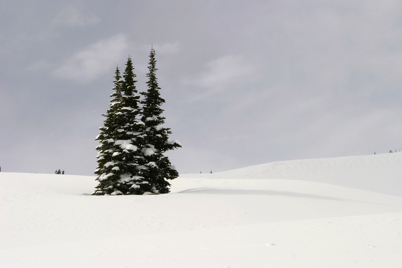 A small grove of three fir trees in deep snow on Mt. Rainier. In an unusual winter situation in the Pacific Northwest, the sky was clear and blue!