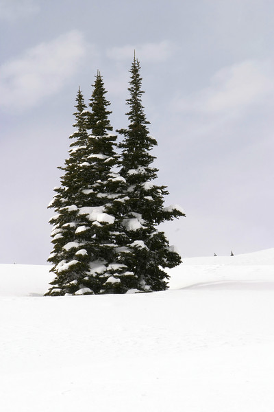 Three snowy trees in the middle of a snow field at high altitude on Mt. Rainier. These trees are lightly flocked (ie, covered) with snow which would be typical of the winter season.