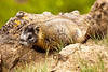 A young yellow-bellied marmot (marmota flaviventris) showing no movement by the side of a trail in Yellowstone National Park.