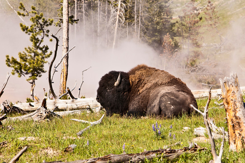 A single massive buffalo lying down in a grassy meadow with  steam rising in the background from one of the many natural hot springs in Yellowstone National Park.