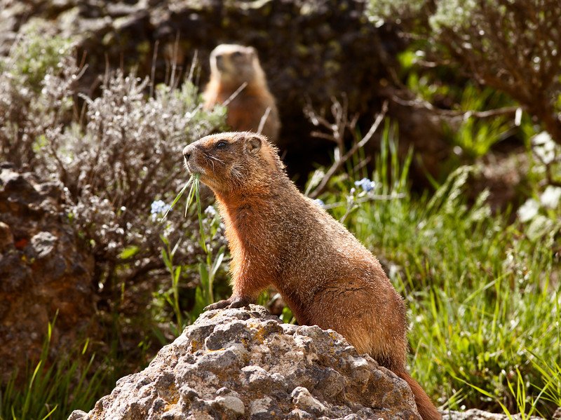A rock chuck, or yellow-bellied marmot, sitting on a rock with a second standing in the background. These members of the ground squirrels family are common throughout Yellowstone National Park and the Rocky Mountains.