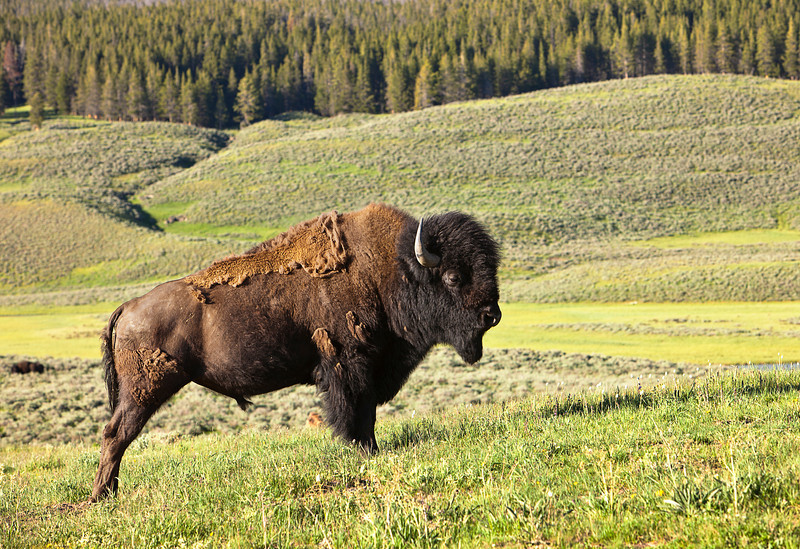 A male American bison (bison bison) stands along in Hayden Valley in Yellowstone National Park. During the summer, the animal sheds its thick winter fur coat.