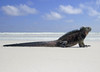 A marine iguana (amblyrhyncus cristatus) is at a peaceful rest on a sandy beach is highlighted against the surf and sky. This species of reptile is endemic to the Galapagos Islands of Ecuador.